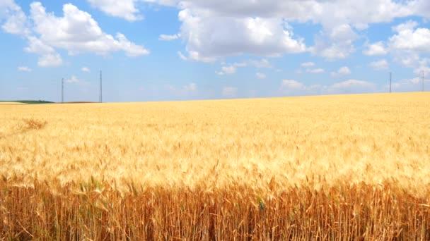 Ripe wheat field, blue sky, white clouds (4K)