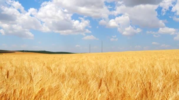 Érett búza mező, kék ég, fehér felhők (4k)