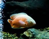 Oscar ryby v akváriu na pozadí přírody