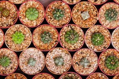 Sale of cactuses of various grades in the Flower market.