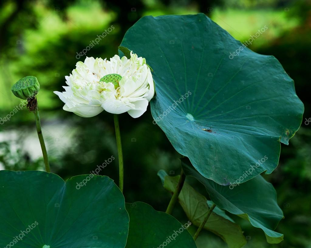 Beautiful Lotus Flower And Leaf In Pond Nature Stock Photo