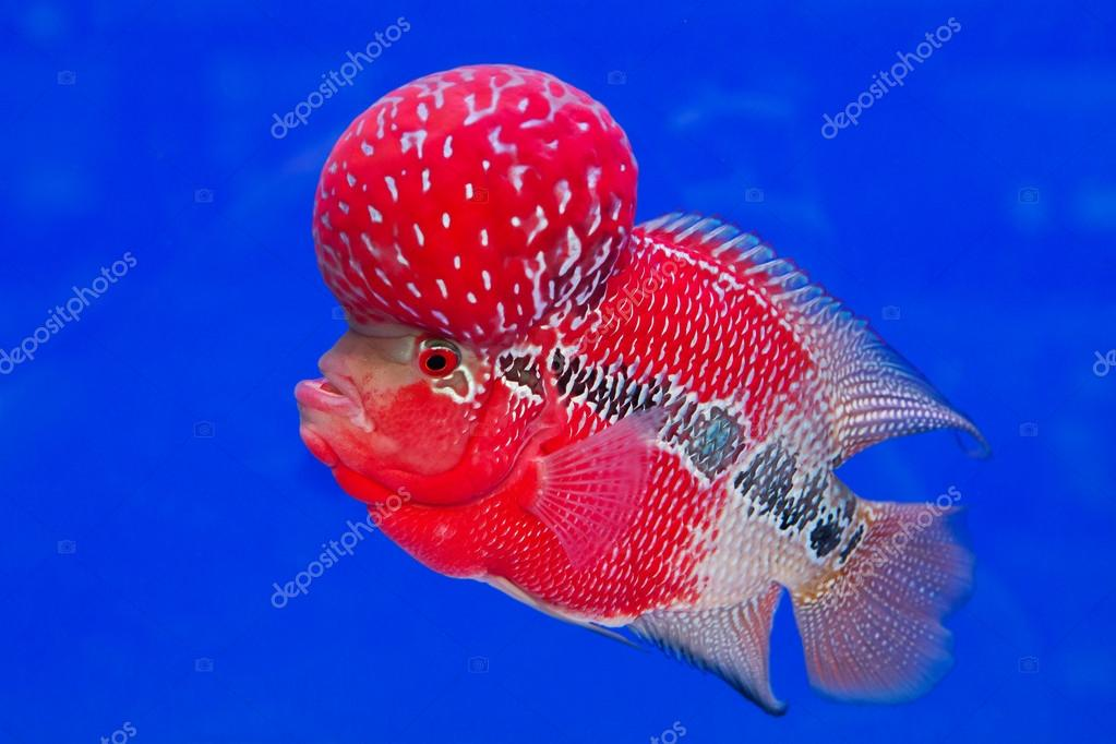 Aquarium Fish Flower Horn Fish On Blue Screen Stock Photo