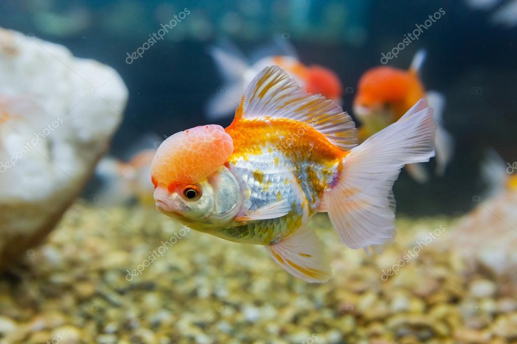 Pesce d 39 oro in un acquario d 39 acqua dolce foto stock for Acqua acquario