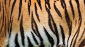 Fotografie close up tiger skin texture
