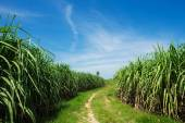 Sugarcane field and road with white cloud in Thailand