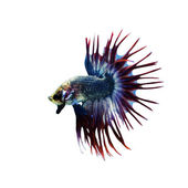 Fotografie Betta Fish closeup. Colorful Dragon Fish. Aquarium. Isolated on