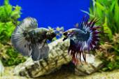 Fotografie Betta fish, Siamese fighting fish with green plants