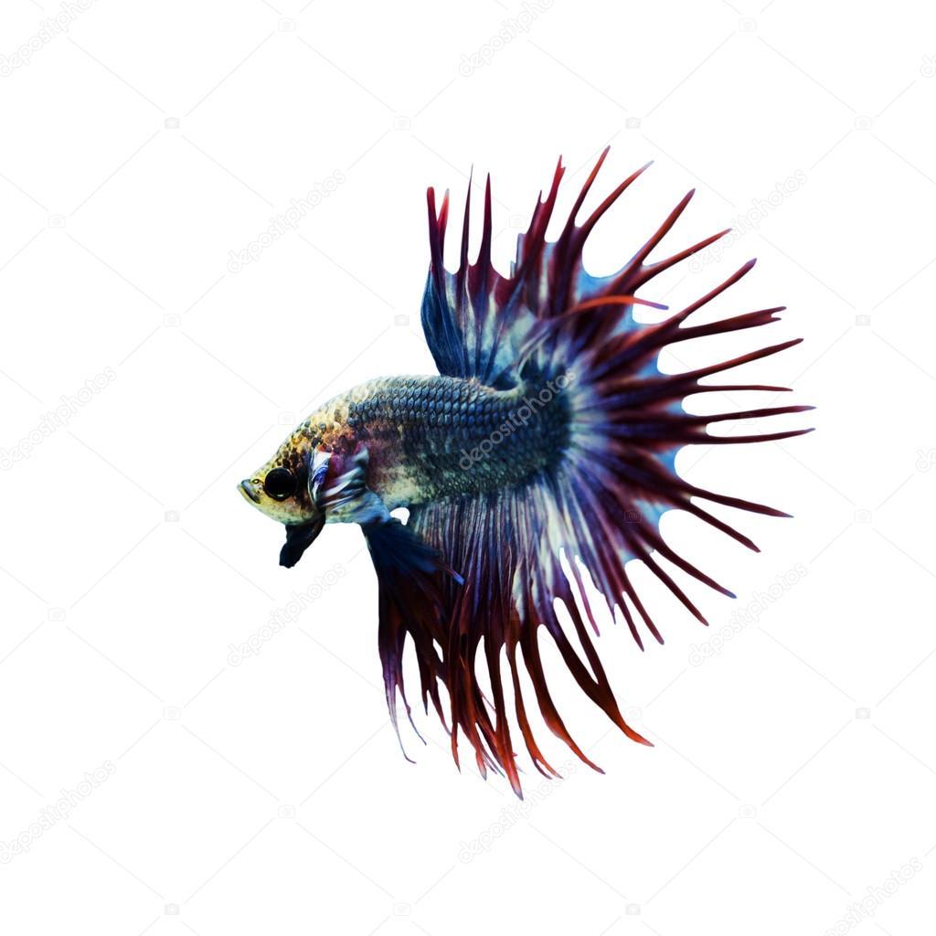 Betta Fish closeup. Colorful Dragon Fish. Aquarium. Isolated on