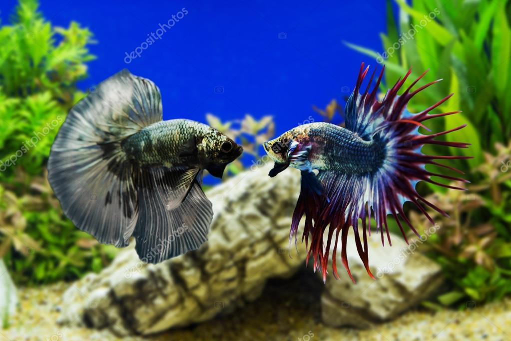 Betta Fish Siamese Fighting Fish With Green Plants Stock Photo