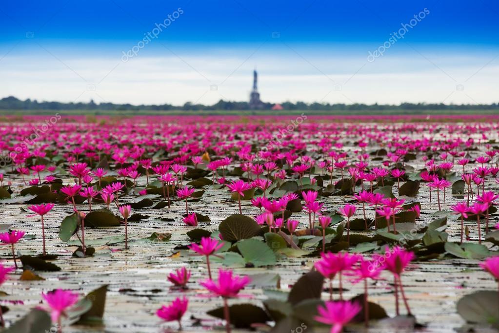 Sea of red lotus , Marsh Red lotus Sea of red lotus Thailand