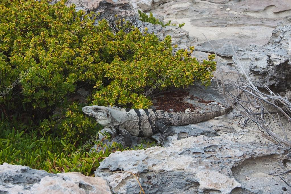 Iguana is resting on a rock on Mexican coastline