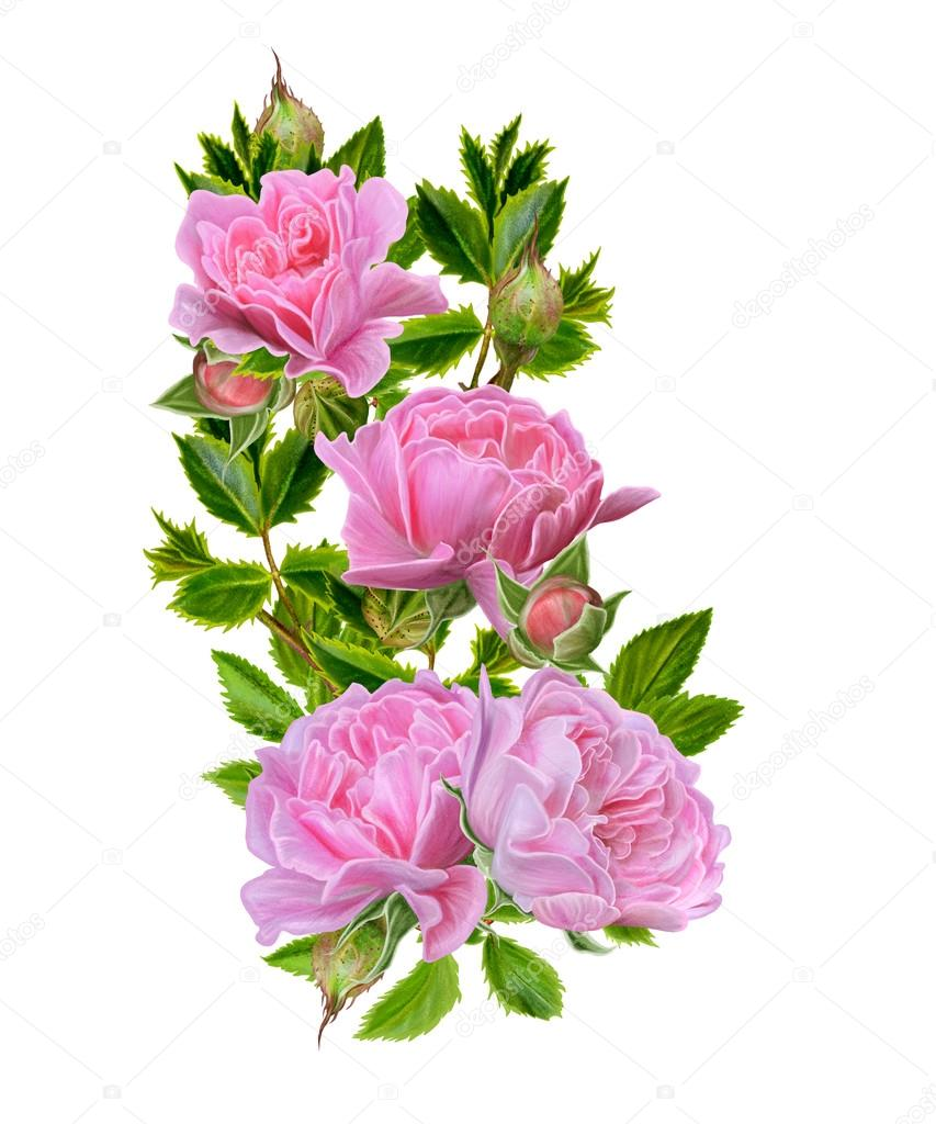 Branch of blooming pink roses on a white background flower branch of blooming pink roses on a white background flower composition isolated sokolova fotoraf mightylinksfo