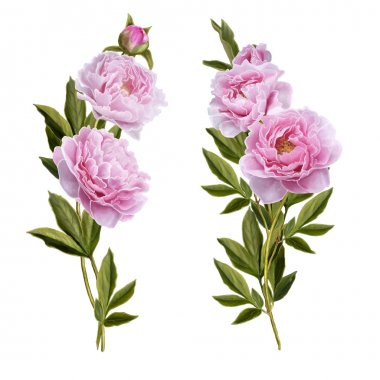 Bouquets of pink peonies on a white background