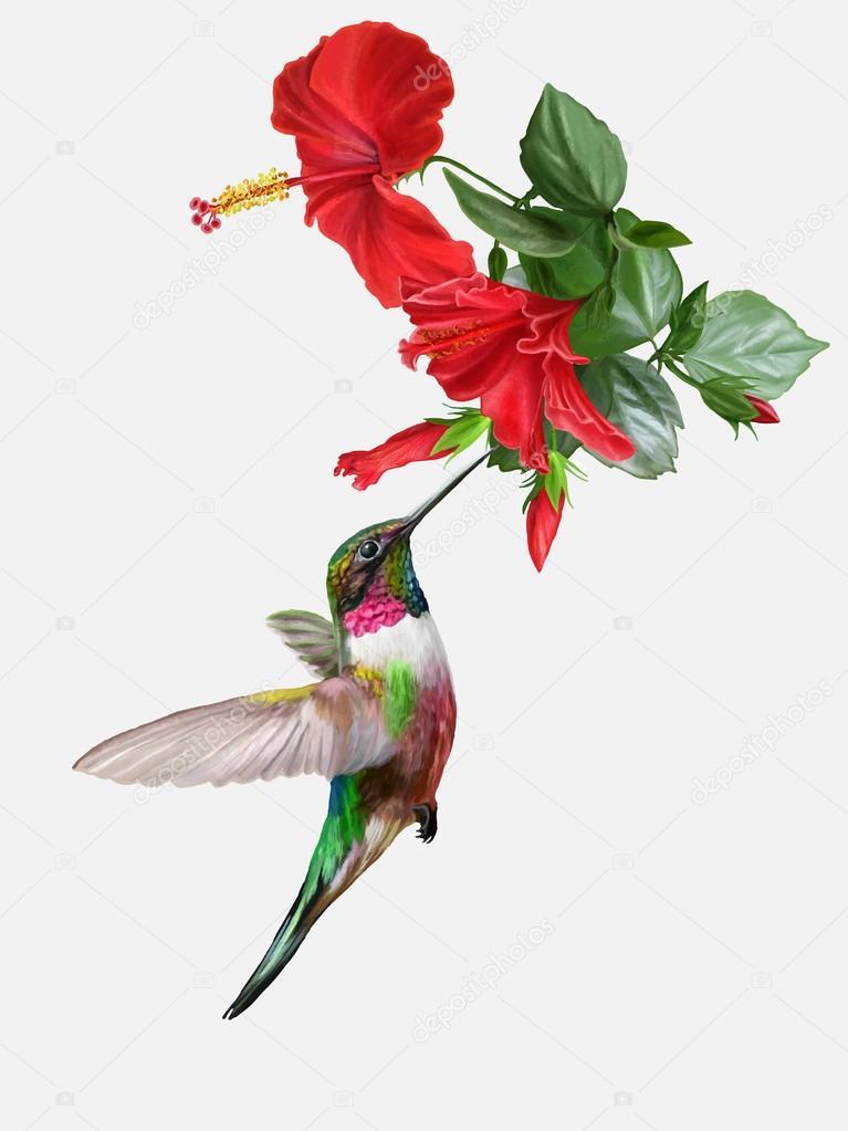 Kleiner Vogel Kolibri Und Hell Rot Rosa Hibiskus Vektor Illustration