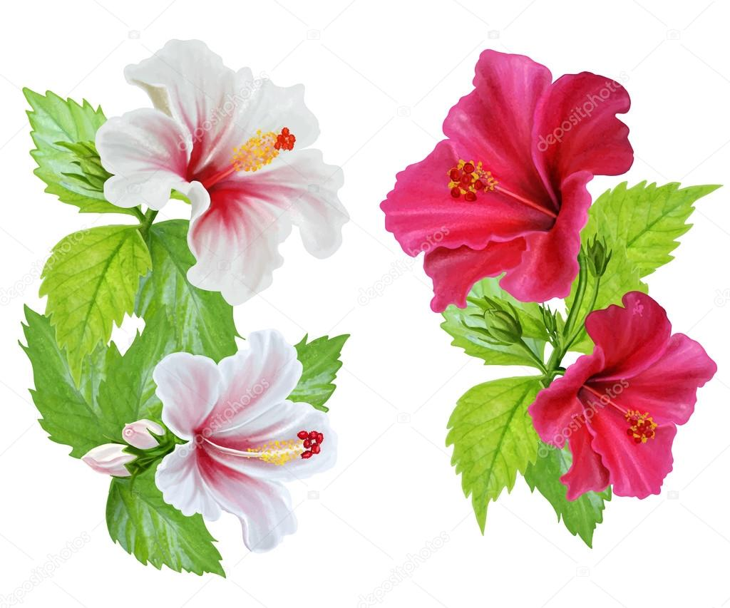 Set Hibiscus Flowers Pink And White Flowers Vector Illustration
