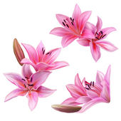 Fotografie set of pink lily flower isolated