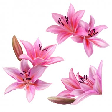 set of pink lily flower isolated