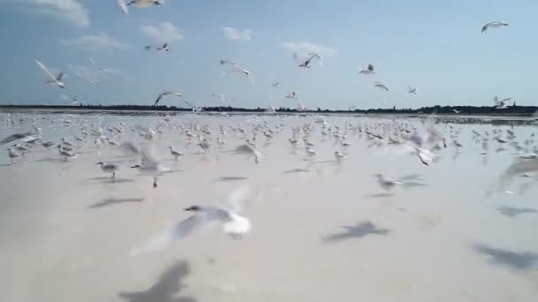 Top cinematic aerial view of the flock of seagulls. Amazing close up drone video. Drone flying with flock of seagulls on the salk lake. Amazing wild nature and animals. Ukrainian nature and landscape.