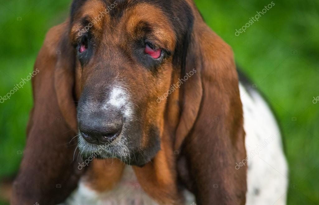Un anno di et basset hound canis lupus familiaris nel for Piani di fattoria georgiana