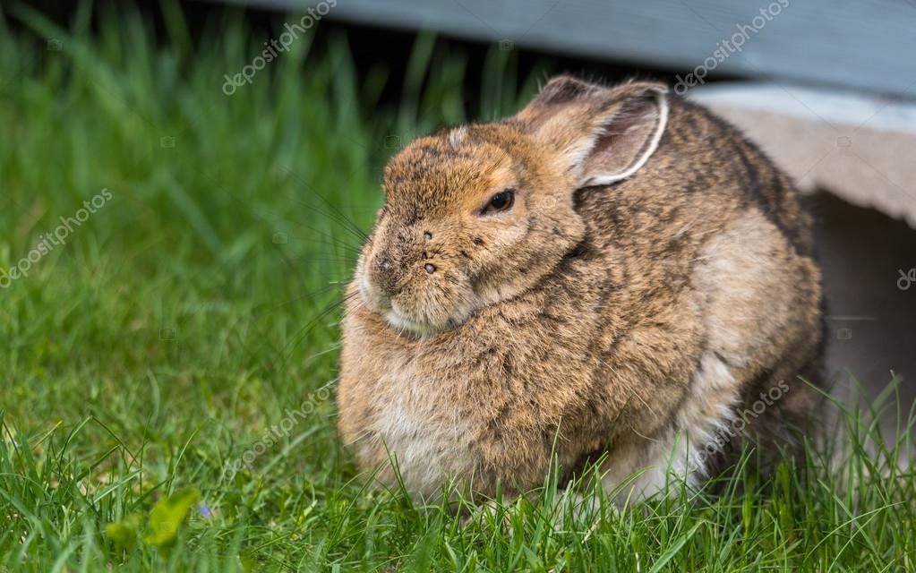 Wise old senior bunny Snowshoe hare looking at camera.
