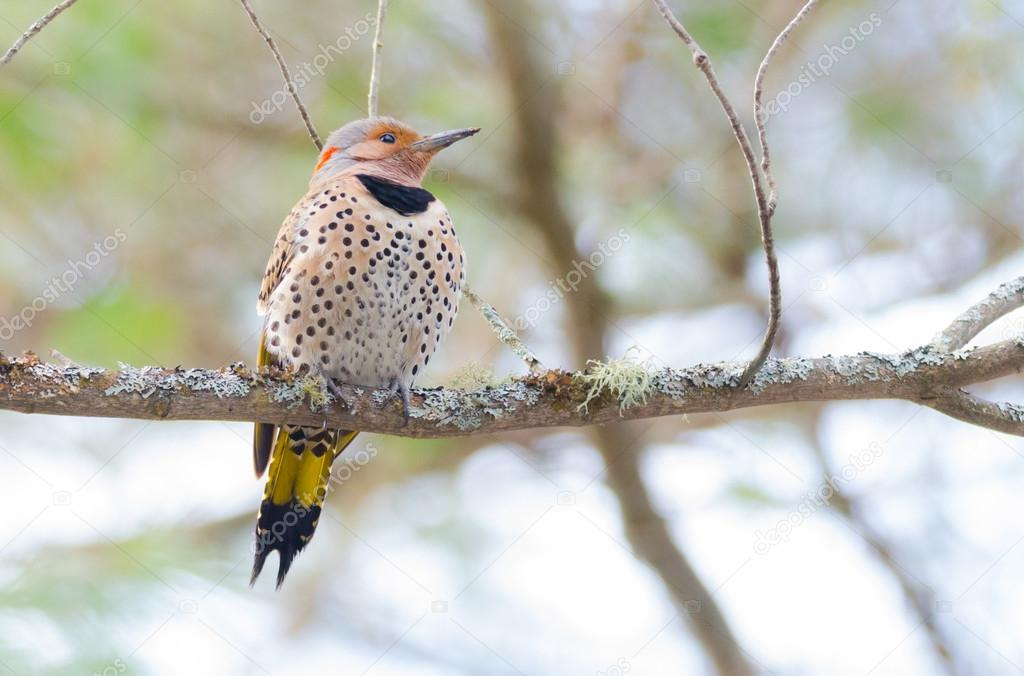 Happy yellow shafted flicker - Colaptes auratus on a springtime tree branch.