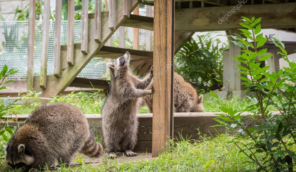 Young members of raccoon (Procyon lotor) family playing, establishing pecking order, grooming one another and playing, search for food and treats near a bird feeder in Eastern Ontario.