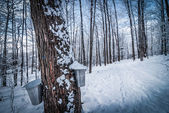 Maple syrup buckets on trees in an urban wooded sap gathering forest just after freshly fallen snow.