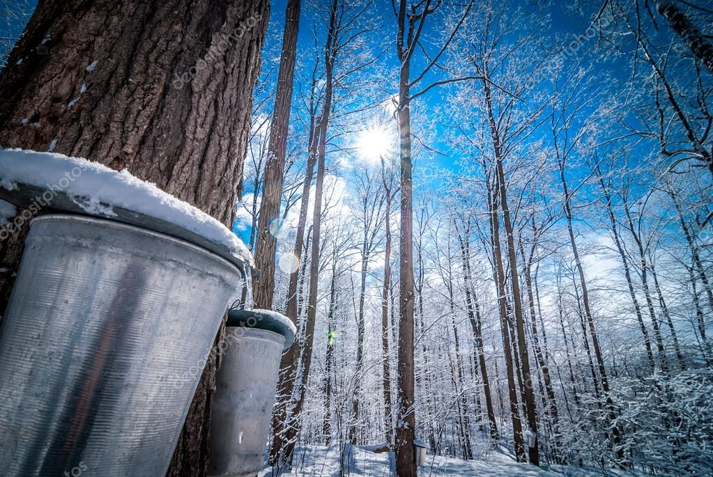 Maple woods in March, getting ready to collect sap.  Maple syrup collection buckets for a sugar shack in the Maple wooded winter forest.