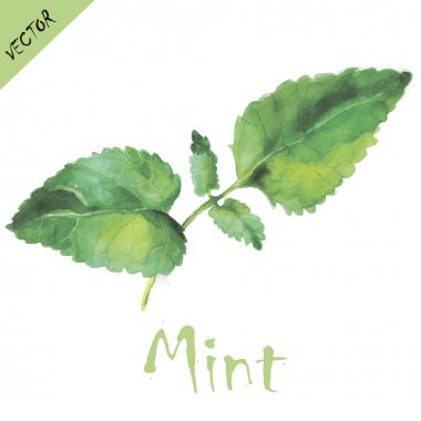 Mint leaves in watercolors.