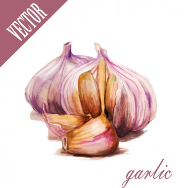 Hand drawn watercolor Garlic