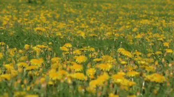 Žluté pampelišky na zelené louce záběr na jaře