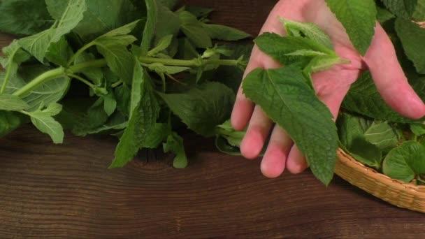 Škubání listy čerstvé lékařské byliny máta