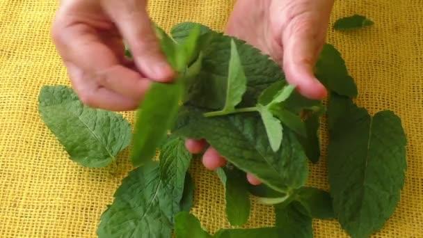 Kulinářské aromatických bylin. Closeup listy čerstvé máty
