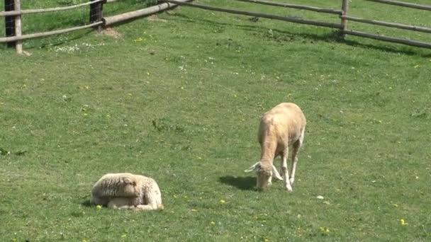 dvě ovce pasoucí se na louce