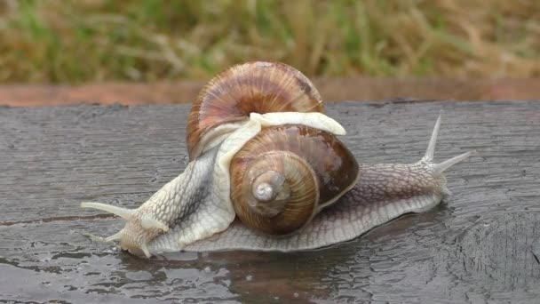 Two snails in tight connection
