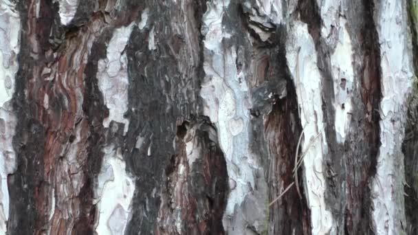 Rinde der Kiefer Stamm Textur Hintergrund