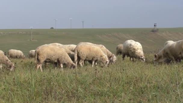 Stádo ovcí, chov v horské louky zelené trávy