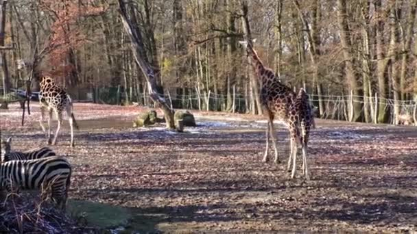 Zsiráf az állatkertben csoportja
