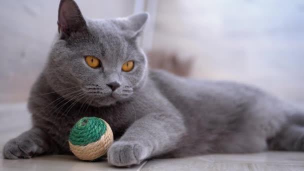 Porträt einer britischen schottischen geraden Katze mit einem Ball, der sich in der Zelle umschaut