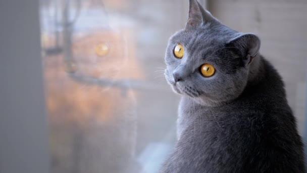 Smutná šedá britská domácí kočka sedí na parapetu, odráží se v okně