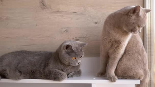 Dvě britské šedé domácí kočky sedící na stole a sledující pohyb objektu. Zavřít