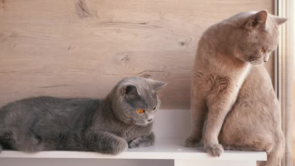 Two British Gray Home Cats Sitting on Table, Watching Movement of Object. Close