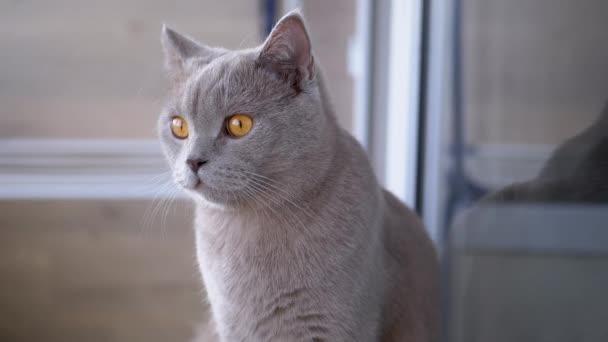 Krásná šedá britská kočka s rovnýma ušima sedí doma na podlaze
