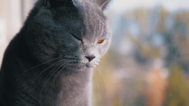 Portrét Krásná šedá britská kočka s rovnýma ušima se dívá z okna