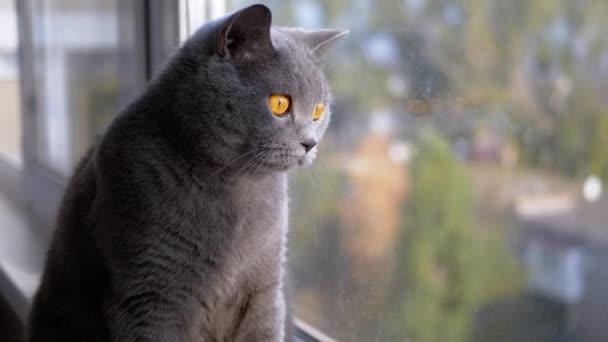 Porträt Schöne graue Britische Katze mit geraden Ohren blickt aus dem Fenster