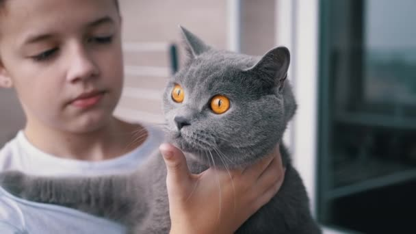 Happy Boy těsné objetí šedé britské domácí kočka s velkýma očima, láska pro domácí mazlíčky
