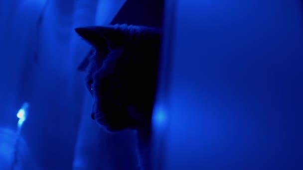 Vedoucí britské kočky na pozadí třpytivých vánočních věnců. Detailní záběr.
