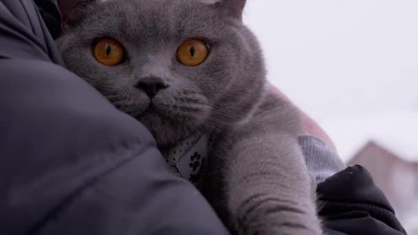 Graue britische Hauskatze zittert im Winter in Menschenhand auf der Straße. Spaziergang bei Frost