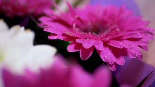 Rozstřikování kapek vody na jemné růžové okvětní lístky chryzantémy Květ. 180fps