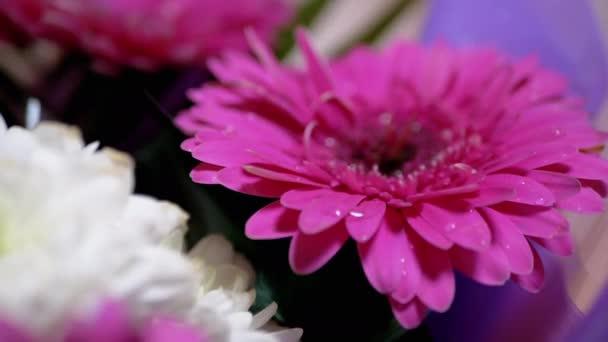 Kapky vody, rosy, třpyt s jasným světlem na okvětních lístcích Růžová chryzantéma Květ